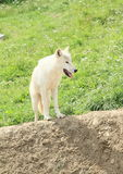 White arctic wolf Royalty Free Stock Image