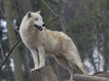 White arctic wolf. In a zoo Royalty Free Stock Images