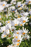 White Argyranthemum flower. Field in a garden royalty free stock photos