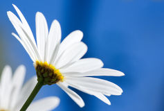 White Argyranthemum flower on blue sky. White Argyranthemum flower on bright and clear blue sky royalty free stock image