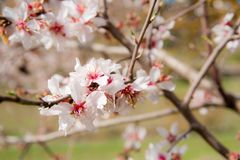 White plum flowers in a bright scenery. White aromatic plum flowers on a tree branch in a bright sunny scenery Royalty Free Stock Photo