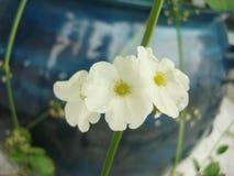 White arrow head amazon flowers Royalty Free Stock Photo