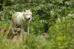 White artic wolf. Canis lupus arctos standing in nature royalty free stock images