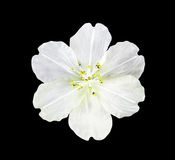 White artifical flower isolated Royalty Free Stock Image