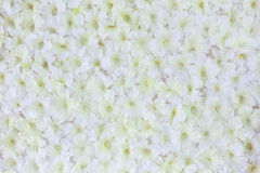 White Artificial flower. White Artificial flowers on backdrop for welcome zone in the party Royalty Free Stock Photo