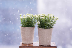 White artificial flowers arranged in  mini cardboard pots Royalty Free Stock Images