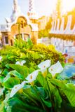 White Arum flowers and green leaves in front of colorful mosaic building in Park Guell. Evening warm light. Barcelona. White Arum flower and green leaves in Royalty Free Stock Image
