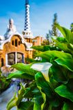 White Arum flower and green leaves in front of colorful mosaic building in Park Guell. Evening warm light. Barcelona. Spain Royalty Free Stock Images