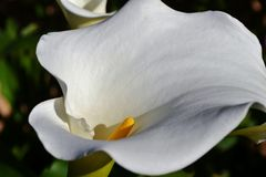 White arum lily Royalty Free Stock Photo