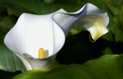 White arum lily Stock Photography
