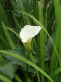 White arum lily Stock Image