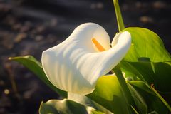 A White Arum Lily Zantedeschia. Close up image of a white Arum Lily Zantedeschia flower Royalty Free Stock Photography