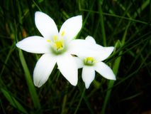 White As A Ghost. Beautiful flowers are as white as a ghost Royalty Free Stock Photos
