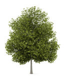 White ash tree isolated on white Stock Photo
