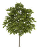 White ash tree isolated on white Royalty Free Stock Photo