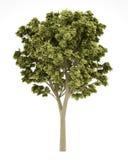 White ash tree isolated on white Royalty Free Stock Photos