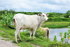 A white asia cow. Stock Image