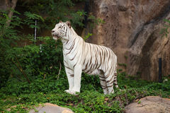 White asian bengal tiger standing. White asian bengal tiger resting and standing Stock Image