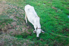 White asian cow in pasture Stock Image