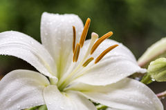 White asian lily Stock Image
