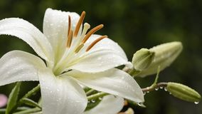 White asian lily stock video footage