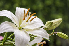 White asian lily Royalty Free Stock Images