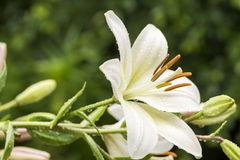 White asian lily Royalty Free Stock Image
