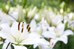 White asiatic lily Stock Image