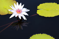 White Asiatic Lily. White Asiatic water Lily with lily pads blooming in a pond stock photo