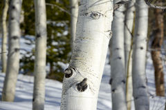 White aspen bark in the winter snow Royalty Free Stock Image