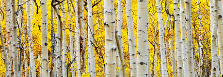 White Aspen Tree Trunks. This golden and white picture shows an aspen grove in the fall stock image