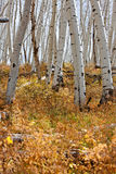 White Aspen Tree Trunks In Fall Stock Images