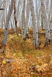 White Aspen Tree Trunks In Fall Stock Images