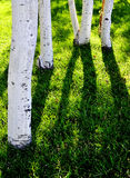 White Aspen Tree Trunks with Green Grass Royalty Free Stock Images