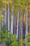 White aspen trees in autum Stock Image