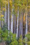 White aspen trees in autum Stock Image