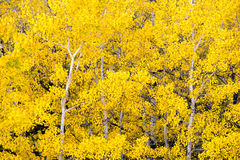 White Aspen Trees Forest Fall Colors Leaves Changing Autumn royalty free stock images