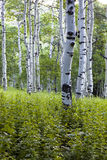 White Aspens Stock Image
