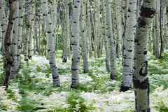 White Aspens. In sunlit ferns Royalty Free Stock Photography