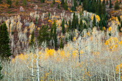 White Aspens Stock Photos