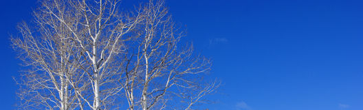 White aspens against clear blue winter sky Stock Photos