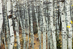 White Aspens and Branches. Aspens with no leaves and black branches Royalty Free Stock Image