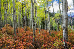 White Aspens in Red Carpet Royalty Free Stock Images