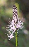 White asphodel, Asphodelus albus Royalty Free Stock Images