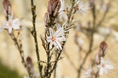 White asphodel (Asphodelus albus) Royalty Free Stock Photos