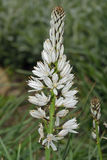 White Asphodel Stock Photos