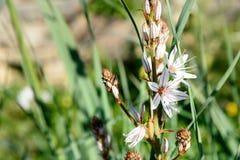 Free White Asphodel Flowers. Asphodelus Albus Stock Image - 101704861