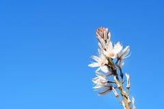 White asphodel flowers. Asphodelus albus Royalty Free Stock Image