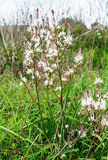 White asphodelus albus flowers at green meadow Royalty Free Stock Images