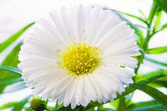 White Aster. With drops of water Royalty Free Stock Images